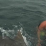 attaque-requin-tigre