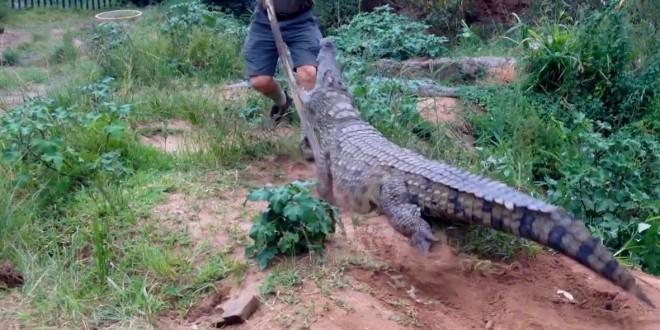 Une attaque de crocodile en Afrique
