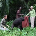 singe-remis-liberte-jane-goodall-primatologue