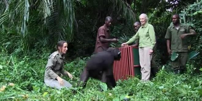 Geste de remerciement d'un singe remis en liberté