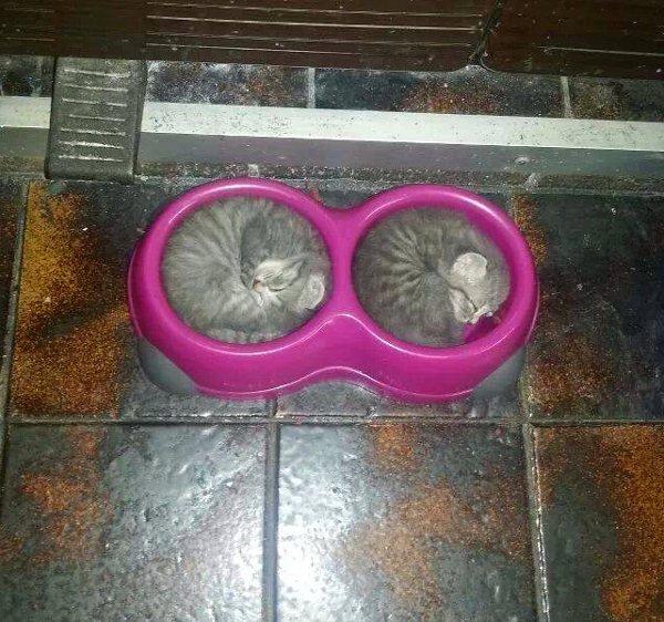 Des chatons dorment dans la gamelle du chien