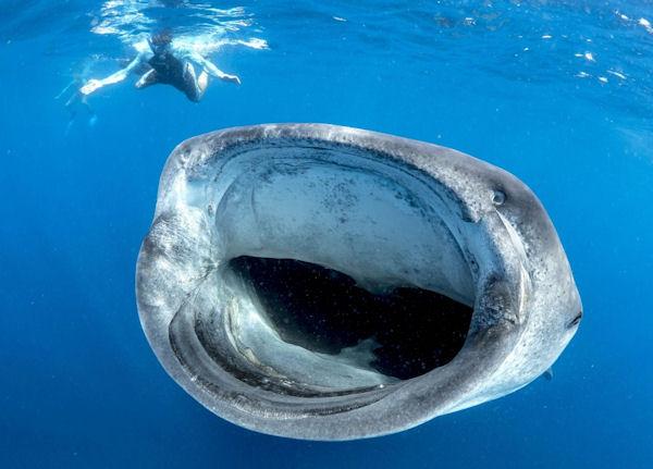 Un requin baleine la gueule grande ouverte