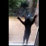 chat-veut-rentrer-maison-saute-bond