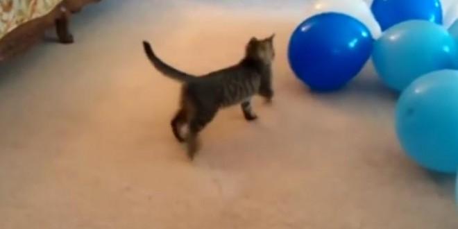 Chats vs des ballons de baudruche