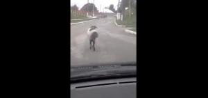 chevre-mouton-roule-du-cul-lol