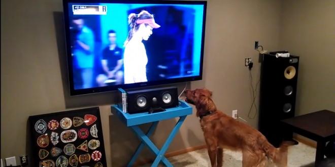 Un chien regarde un match de tennis