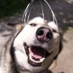 chien-husky-aime-massage-tete