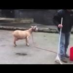 maitre-gims-goats-chevre-parodie-chanson-zombie