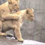 bebe-lion-lionceaux-pere-lion-rencontre-cute
