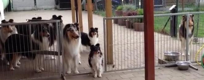 Des chiens attendent l'appel pour aller manger