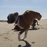 chien-boxer-deux-pattes-plage