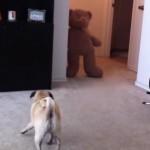 faire-peur-chien-carlin-ours-peluche