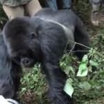 gorille-attaque-touriste-choc