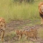 lion-rugie-lionceaux-cute