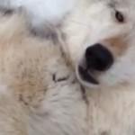loup-louve-aime-gratte-ventre-cute