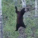 ours-equilibriste-canada-castor