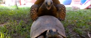 tortue-accouplement-bruit-ebat