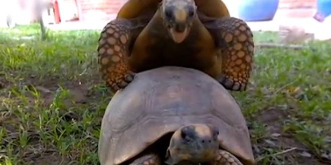 Le bruit que fait une tortue qui s'accouple