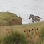 zebre-riviere-embuscade-lion