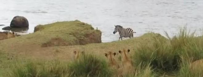 Un zèbre attendu de l'autre côté de la rive