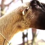 game-of-thrones-game-of-goats-parodie-generique-chevre