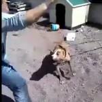 homme-enerve-pitbull-chaine-casse-fail