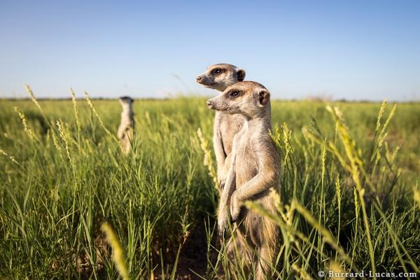 Meerkats Looking