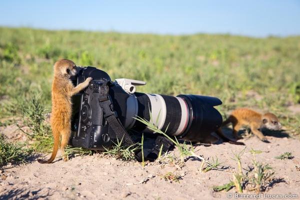 Meerkat Photographers