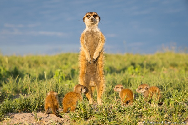 Meerkat Father