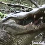 alligator-mange-tortue-texas