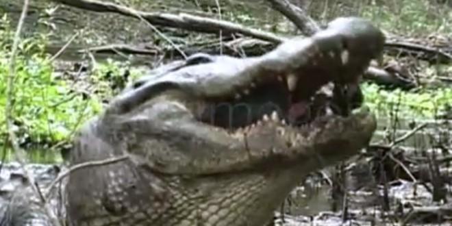 Un alligator mange une tortue