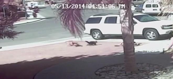 Un enfant attaqué par un chien et sauvé par son chat