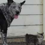 chien-bouvier-australien-ami-chat-malade-handicape