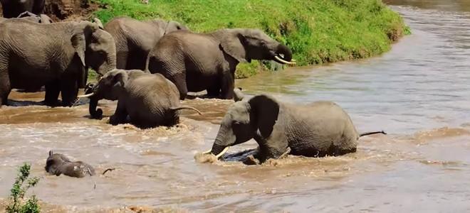 Un troupeau d'éléphants sauve un bébé de la noyade
