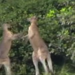 kangourou-etrangle-bagarre