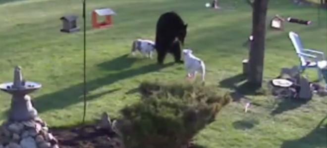 Des chiens font fuir un ours !