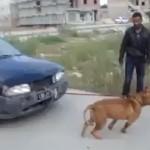 pitbull-tracte-voiture-omg