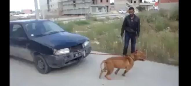 Un pitbull tracte une voiture