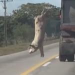 camion-abattoir-cochon-saute
