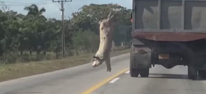 Vidéo : Un cochon saute d'un camion pour éviter l'abattoir