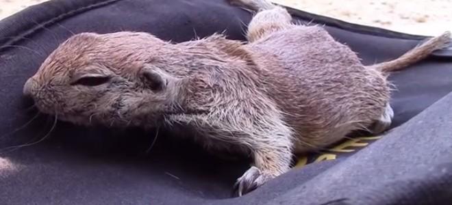 Un nettoyeur de piscine sauve un bébé écureuil de la noyade