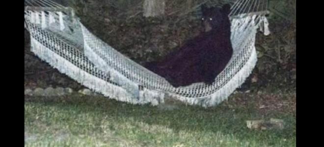L'ours qui aimait se détendre dans un hamac