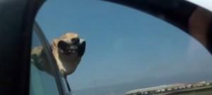 chien-fenetre-voiture-roule