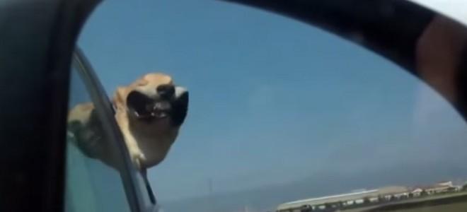 Quand les chiens passent la tête par la fenêtre d'une voiture