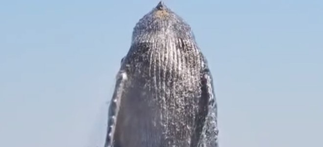 Une baleine remercie ses sauveteurs après avoir été libéré