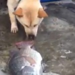 chien-sauve-poisson