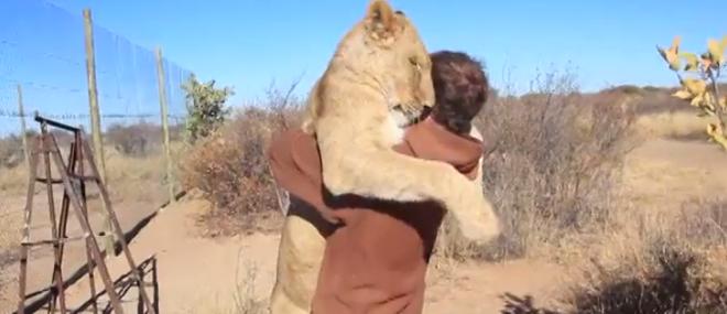 Un lion en manque de câlins saute dans les bras d'un homme