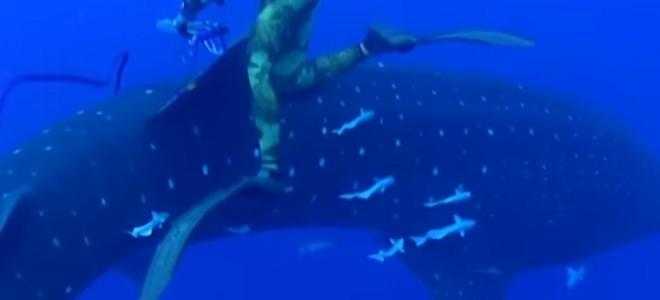Un pêcheur sous-marin rencontre un requin baleine