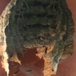 nid-frelon-fenetre