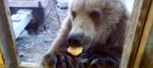 ours-russe-cabane-chantier-mange-fenetre